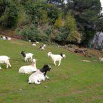 Villa Duchessa di Galliera - le caprette sul prato
