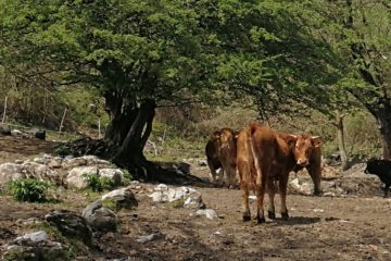 mucche al Giandriale