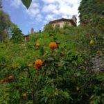 agrumi a Villa Pergola ad Alassio