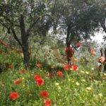 ulivi e papaveri a Volastra