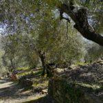 Discesa da Bellissimi a Dolcedo tra gli ulivi