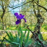 Sant'Apollinare - iris