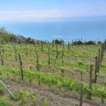 Riomaggiore - vigne