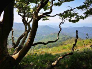 Faggio sulla cresta del Monte Zatta