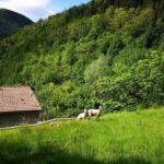 Sopralacroce - prato con pecore
