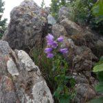 fiore tra le rocce del Monte Rama