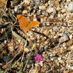 Farfalla sul sentiero pietroso