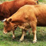 Mucche e tori ai Casoni di Suvero