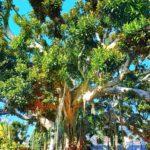 Magnolia centenaria a Sanremo