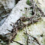 Groviglio di radici su roccia a Boragni