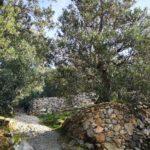 Fasce di ulivi sulla strada del Boriolo