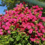 Azalea in fiore al Colle di Creto