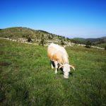 Mucca e pecore al pascolo
