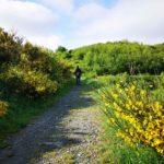 Le ginestre lungo il sentiero