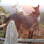 Cavalli amoreggiano al tramonto