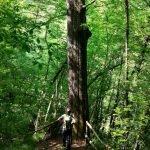La maestosa quercia centenaria